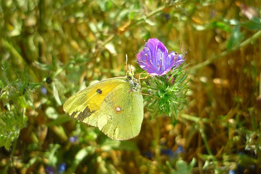 Butterfly, Flower, Colias, Croceus, Common Bugloss