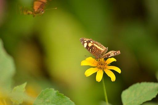 Daisy, Butterfly, Lepidopteran, Spring, Garden, Nature