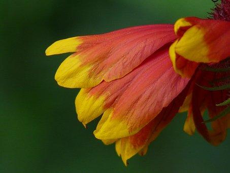 Sun Brews, Helenium, Composites, Asteraceae, Flower