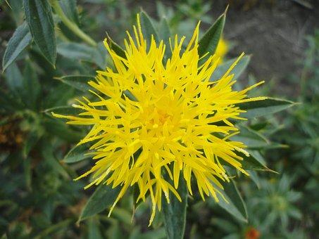 Safflower, Flower, Saffron, Yellow, Plant