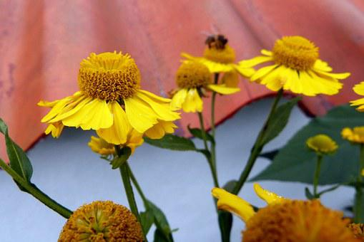 Sun Brews, Flowers, Plant, Yellow, Helenium