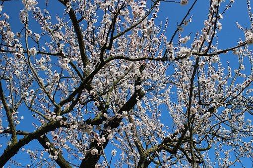 Nature, Spring, Fruit Tree, Flower, Kajszivirág, Fruit