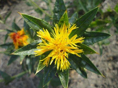 Safflower, Flower, Yellow, Oil, Nature, Flowers, Petal