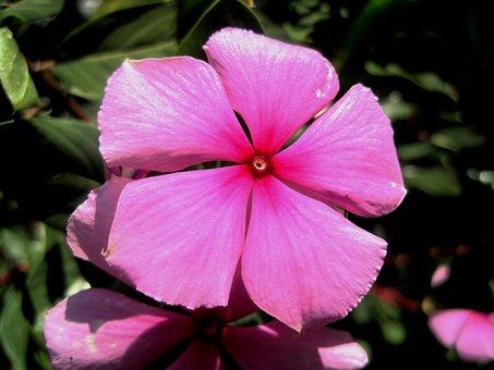 Pink, Flower, Periwinkle, Petals, Five, Simple