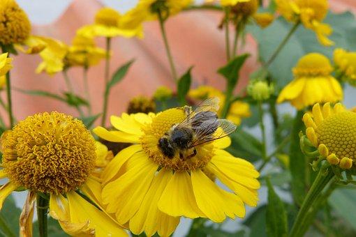 Sun Brews, Bee, Flowers, Plant, Yellow, Helenium