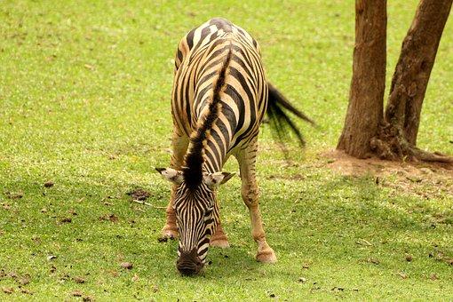 Zebra, Animal, Striped, Wild, Eating Grass, Stripes