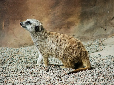 Meerkat, Africa, Animal, Wildlife, Nature, Wild, Mammal