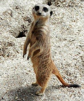Meerkat, Nature, Mammal, Animal, Wildlife, Cute