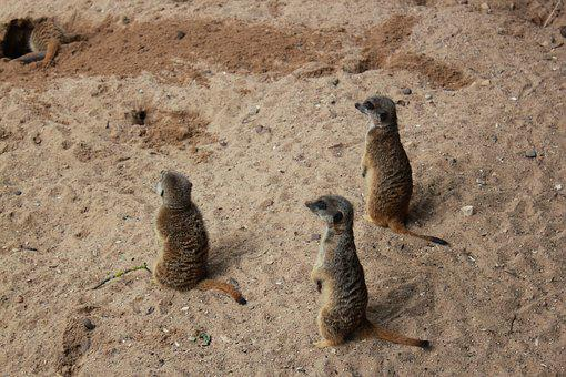 Zoo, The Meerkats, Animals