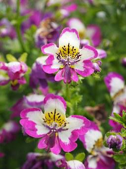 Bauernorchidee, Flowers, Pink, White, Yellow, Black