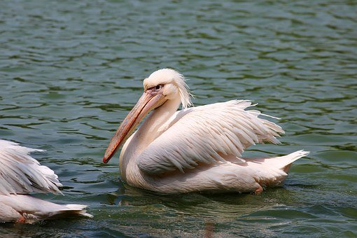 Pelicans Swimming In Lake, Bird, Giant, Fish Eater