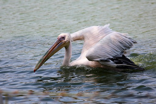 Pelican Swimming In Lake, Bird, Giant, Fish Eater