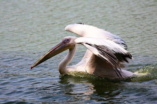 Pelican Swimming In Lake, Bird, Giant, Fish Eater