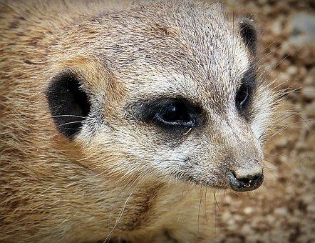 Meerkat, Animal, Nature, Curious, Small, Fur, Guard