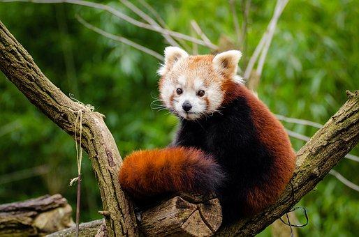 Red Panda, Little Panda, Cute, Curious, Mammal
