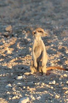 Meerkat, Curious, Desert, Mammal, Wildlife, Small
