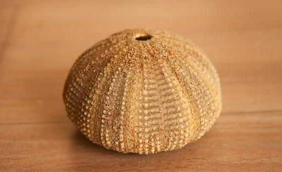 Sea Urchin, Sea Life, Shell, Echinite
