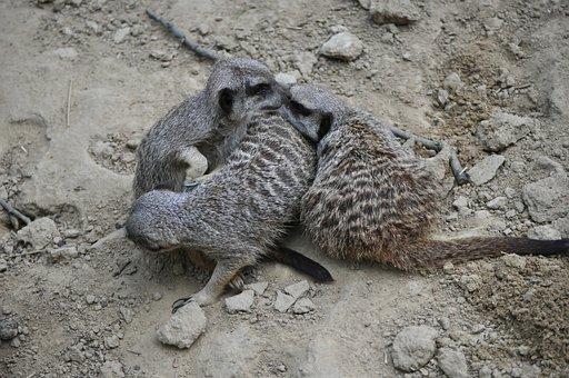 Meerkat, Animals, Zoo, Meercat, Hug, Three, Mongoose