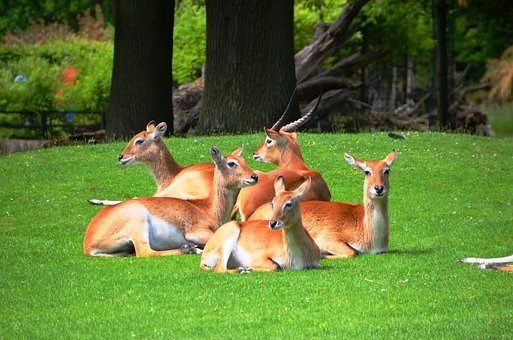 Antelope, Lychee Marsh Antelopes, Lechwe, Kobus Leche