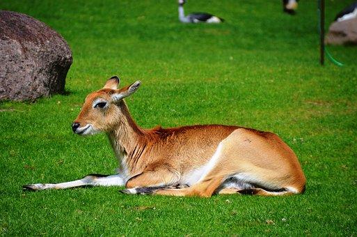 Antelope, Lychee Moor Antelope, Lechwe, Kobus Leche
