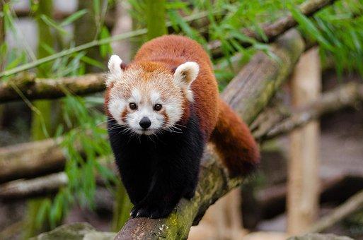 Red Panda, Little Panda, Cute, Bamboo, Mammal