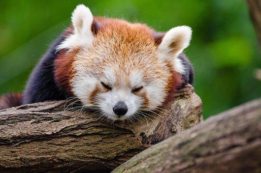 Red Panda, Sleeps, Rest, Cute, Tired, Little Panda