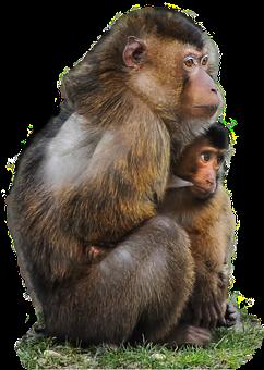 Isolated, Ape, Scarred, Macaque, Monkey, Animal, Mother