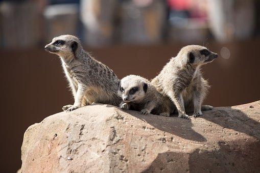 Meercat, Zoo, Wildlife, Mammal, Cute, Brown, Meerkat