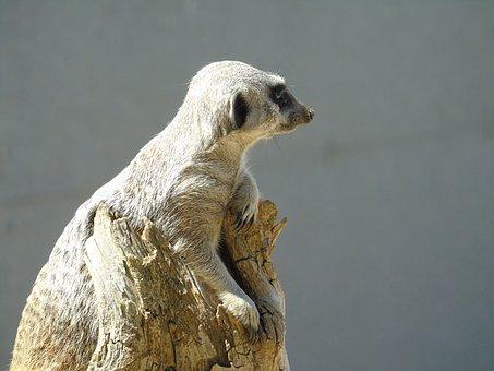 Meerkat, Meercat, Mammal, Animal, Wild, Nature