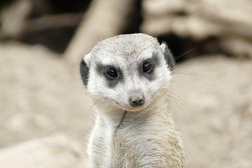 Meerkat, Head, Friendly, Cute, Face, Awakened, Animal
