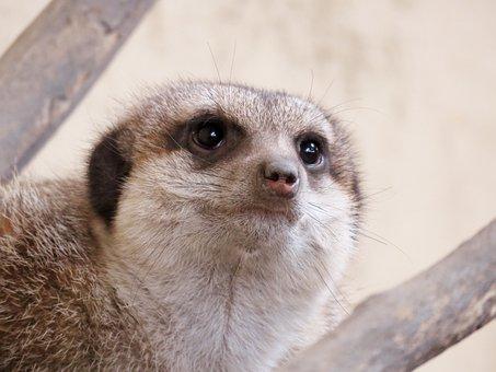 Meerkat, Mongoose, Calgary Zoo