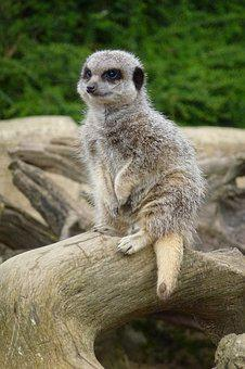 Meerkat, Cotswold Wildlife Park, Waiting, Look Out