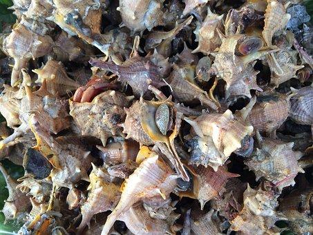 Shellfish, Gastropod, Shell, Nature, Sea, Mollusk