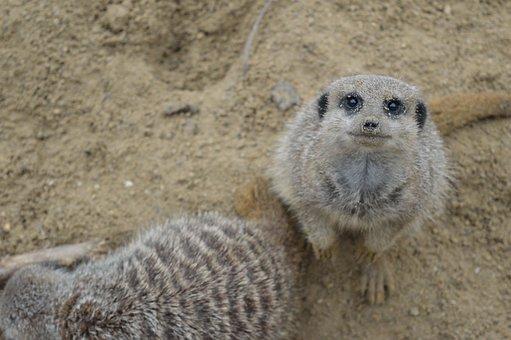 Meerkat, Wildlife, Wild, Nature, Animal, Tropical
