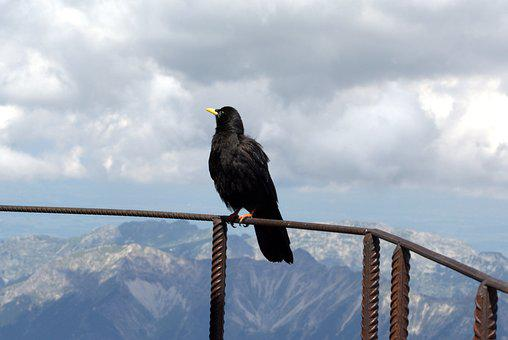 Zugspitze, Raven, Bird, Fly, Garmisch, Outdoor, Snow