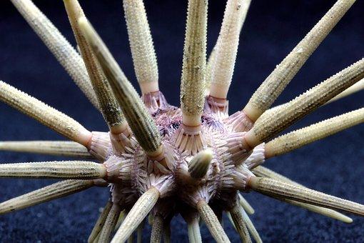 Pencil Urchin, Sea Life, Ocean, Water, Macro, Close-up