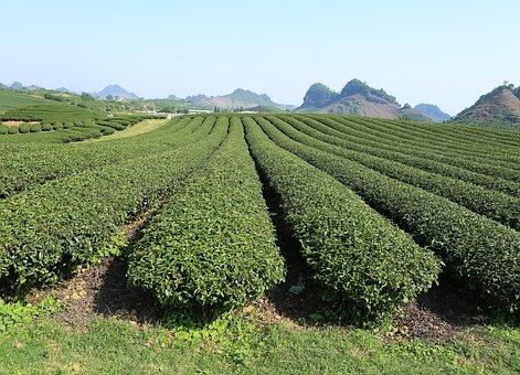Moc Chau, Son La, Vietnam, Plantation, Tea, Field