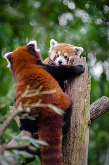 Red Pandas, Meeting, Couple, Cute, Curious