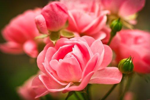 Rose, Flower, Pink Rose, Blossom, Bloom, Rose Blooms