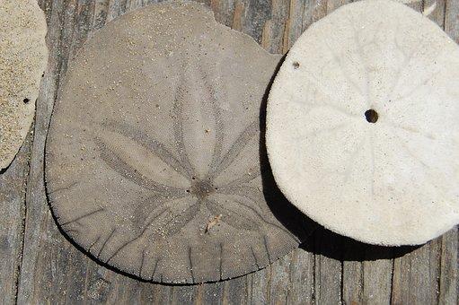 Sanddollar, Ocean, Shell, Urchin, Delicate, Marine
