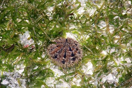 Sea Urchins, Sting, Underwater, Sea, Sea Animal