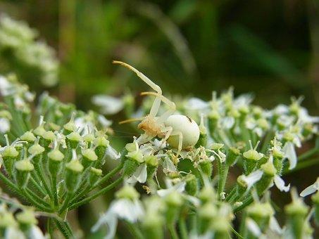 Spider, Dorsata, Animal, Arachne, Blossom, Bloom