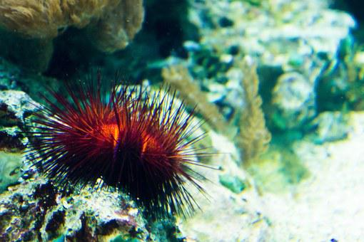 Sea Urchins, Coral, Sand, Sea, Sting, Red, Toxic