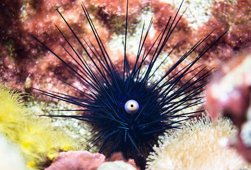 Sea Urchins, Ocean, Gift, Sting, Sea Animal, Underwater