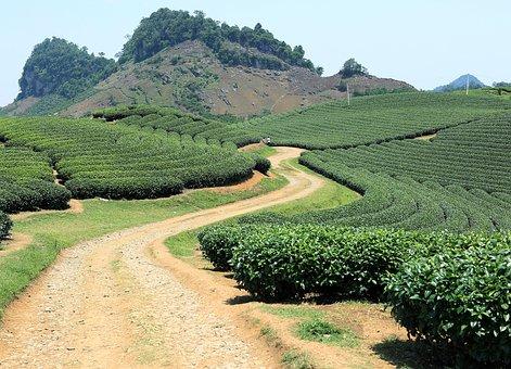 Son La, Vietnam, Plantation, Tea, Field, Moc Chau
