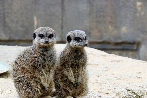 Meerkats, Pair Of Meerkats, Animal, Wildlife, Pair