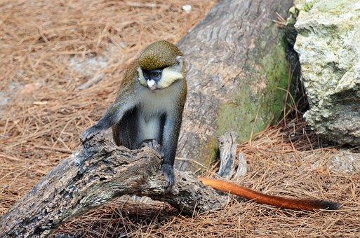 Monkey, White-nosed Monkey, Monkey-tailed, Animal, Zoo