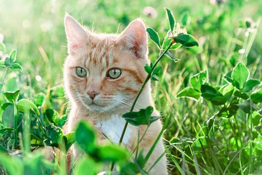 Nature, Cat, Field, Meadow, Grass, Animal, Pet