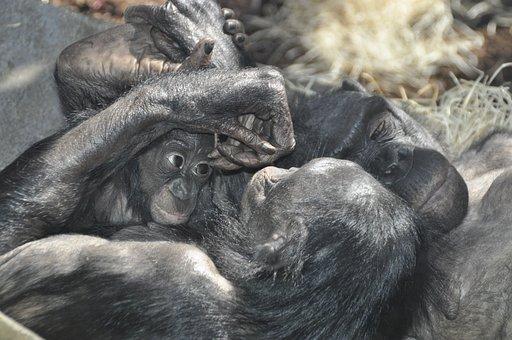 Monkey Love, Bonobos, Ape, Primates