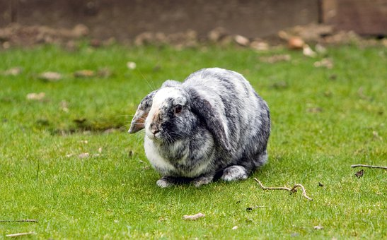 Bunny, Rabbit, Pet, Lop-eared, Grey, White, Cute